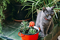 Russian blue cat sitting between potted plants - GEMF000954