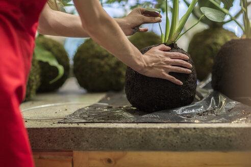 Florist holding plant in ball of soil in flower shop - ZEF009503