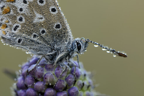 Wet Common blue on a blossom - MJOF001258