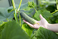 Woman's hand holding cucumber - KNTF000438