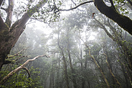 Spain, Canary Islands, Tenerife, forest and fog - SIPF000785