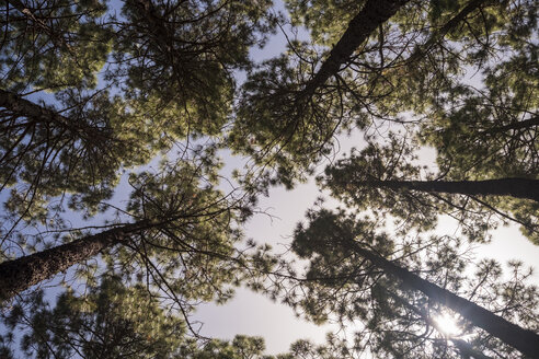Spain, Tenerife, Teide National Park, coniferous forest against sun light, low angle view - SIPF000794