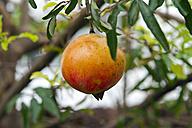Thailand, pomegranate at tree - ZCF000399