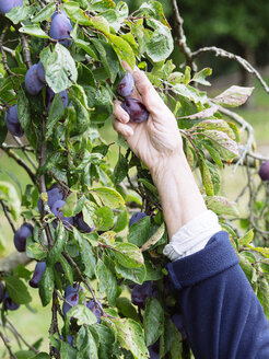 Hand of senior woman harvesting plums - HAWF000953