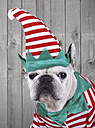 Portrait of French bulldog dressed up as Christmas elf - RTBF000270