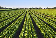 Lettuce field - SIEF007103