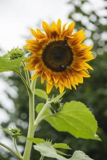 Bumblebees on sunflower - MYF001741