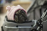 French bulldog in pram with pink cap - ZEF009815