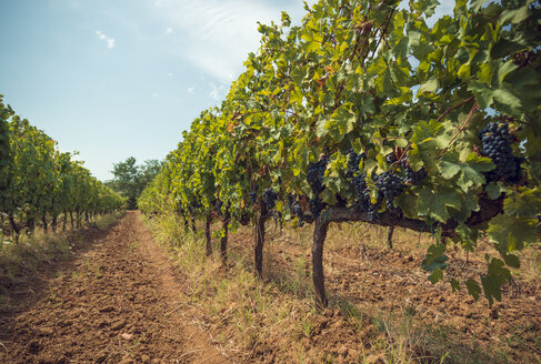 Vineyards - OPF000137