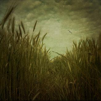 Track through barley field - DWIF000780