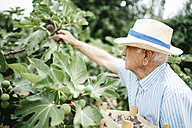 Senior man picking figs - JRFF000854