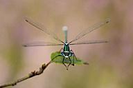 Emerald damselfly on leaf - MJOF001271