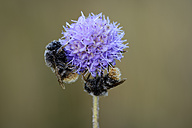 Two wet bumble bees on blossom - MJOF001274