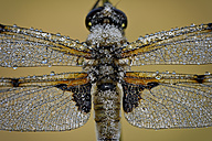 Wet Four-spotted Chaser - MJOF001277