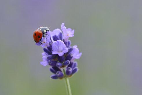 Seven-spotted ladybird on lavender blossom - RUEF001733