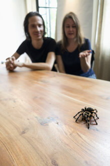 Mexican tarantula on table, man and woman talking in the background - NDF000600