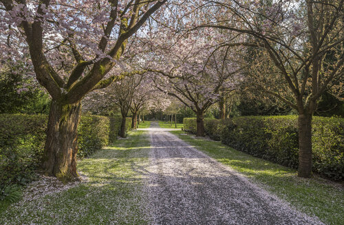 Blossoming cherry tree avenue on a grave yard - PVC00899