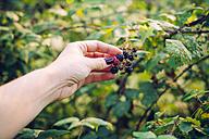 Woman's hand picking blackberries - JPSF00004