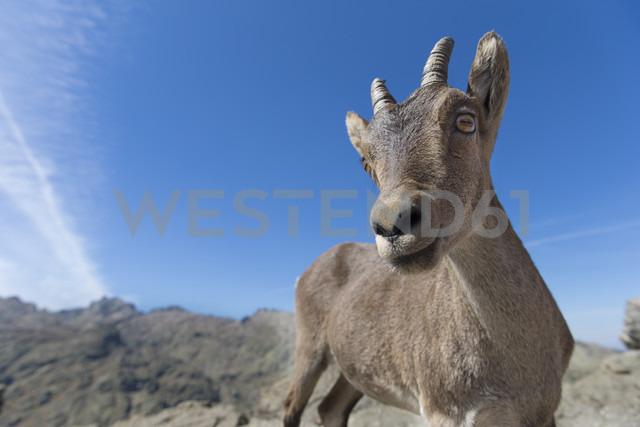 Spain, Sierra de Gredos, Western Spanish ibex - ERLF00188 - Enrique Ramos/Westend61