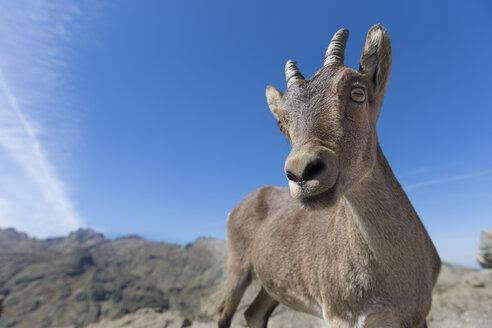 Spain, Sierra de Gredos, Western Spanish ibex - ERLF00188