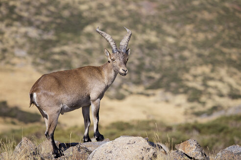 Spain, Sierra de Gredos, Western Spanish ibex on a rock - ERLF00194