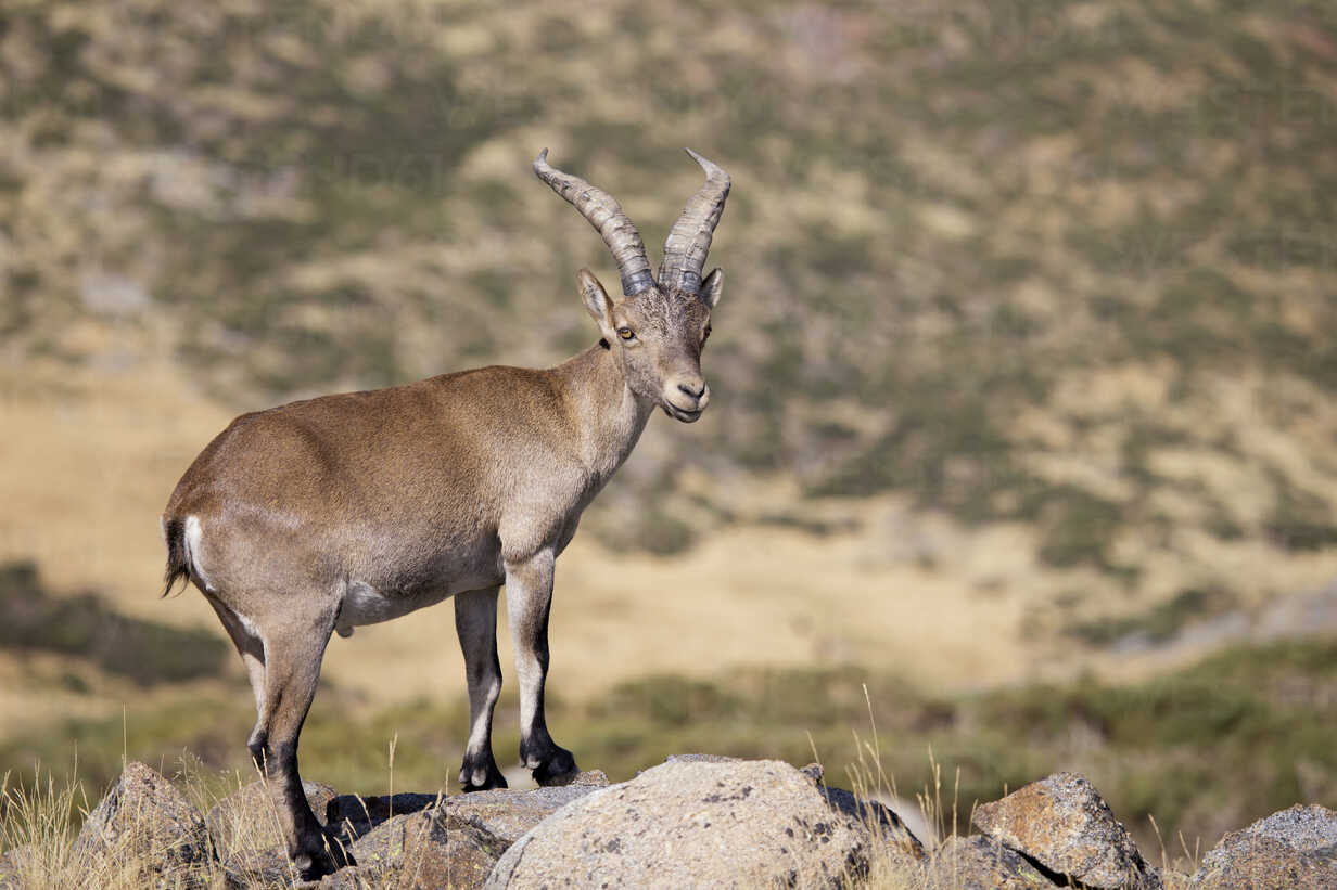 Spain, Sierra de Gredos, Western Spanish ibex on a rock - ERLF00194 - Enrique Ramos/Westend61