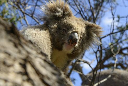 Australia, portrait of koala - TOVF00062