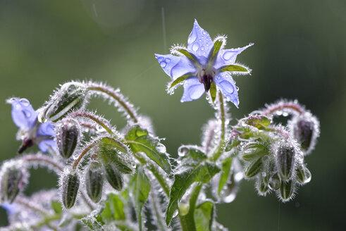 Starflowers with raindrops - LBF01469