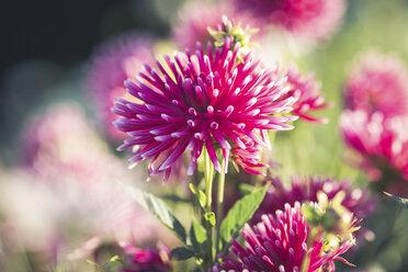 Pink dahlia at sunlight - ASCF00645