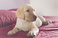 Labrador Retriever puppy lying on bed - SKCF00198