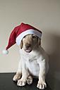Labrador Retriever puppy wearing Christmas cap - SKCF00204