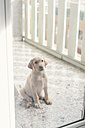 Labrador Retriever puppy sitting behind glass door on balcony - SKCF00207