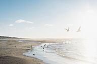 Denmark, Blokhus, flock of seagulls on the beach - MJF02076