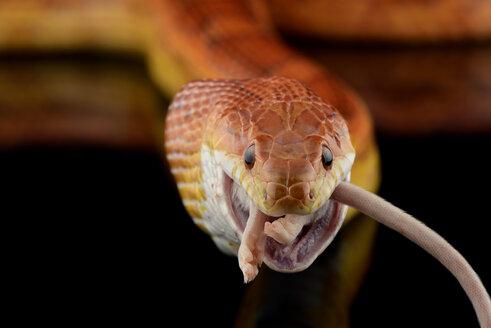 Corn snake, Pantherophis guttatus, eating mouse - MJOF01286