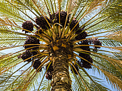 Oman, view to date palm from below - AMF05026
