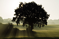Germany, Upper Bavaria, Landsberied, Backlit tree at sunrise - GNF01363