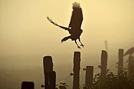 Germany, Upper Bavaria, Raven landing on fence in morning fog - GNF01366
