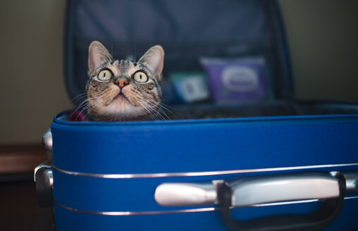Tabby cat inside of blue suitcase - RAEF01513