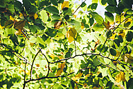 Autumnal leaves at sunlight - BZF00353