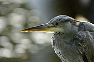 Portrait of grey heron - MJOF01298