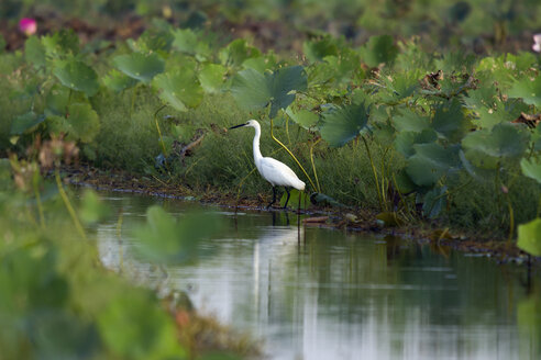 Thailand, Nakhon Sawan, Egretta garzetta, little egret sitting by waterway - ZC00423