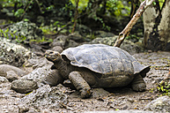 Ecuador, Galapagos Islands, San Cristobal, San Cristobal giant tortoise - CB00395