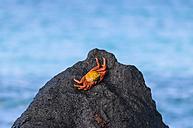 Ecuador, Galapagos Islands, Espanola, Red Rock Crab on a rock - CB00401