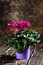 Purple cyclamen in flower pot - CSF27747
