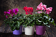 Red, purple and pink cyclamen in flower pots - CSF27750