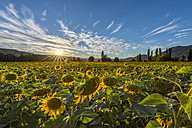 Italy, Umbria, sunflower field in the evening twilight - LOMF00436