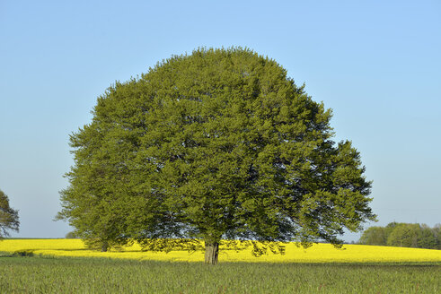Lime tree in the middle of fields in spring - GNF01374