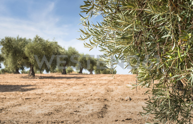 Spain, Ciudad Real, olive tree plantation - DEGF00932