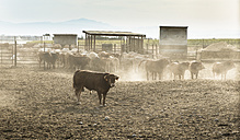 Herd of bulls on a farm - DEGF00935