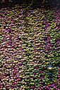 Ivy in autumnal colours covering a facade - ABZF01436